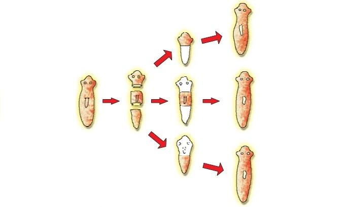 Schéma de régénération des planaires © Meritnation